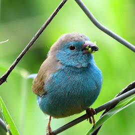 Waxbill by Chris Krog - Animals Birds ( blue, angolensis, waxbill, uraeginthus )