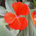 Geranium (red)