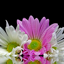 by Dipali S - Flowers Flower Arangements ( reflection, nature, flora, white, chrysanthemum, pink, flower )