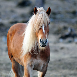 Horse by Marius Birkeland - Animals Horses ( animals, horses, horse, mammal, animal )