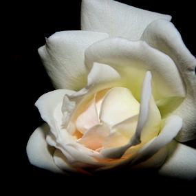rose by Amal Vs - Flowers Flower Buds ( rose, peace, white, flower )