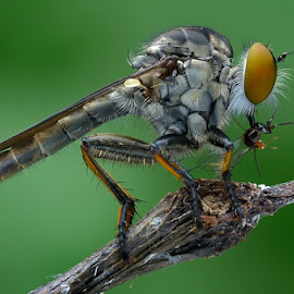 Robberfly by Chee Yeow Lim - Animals Insects & Spiders