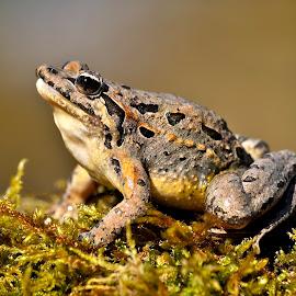 Discoglossus galganoi by Ricardo Costa - Animals Amphibians ( frog, night, gemeses, portugal, amphibians,  )