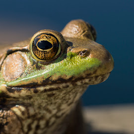 Frog Portrait by Michael Holmes - Animals Amphibians ( lilypons water gardens, frog, wildlife,  )