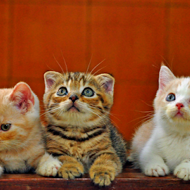 by Cacang Effendi - Animals - Cats Kittens ( cats, kitten, chandra, animal )