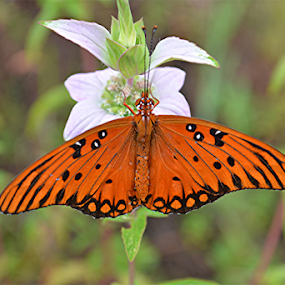 Gulf Fritillary Butterfly Busy Pollinating by Raymond Earl Eckert - Animals Other ( butterfly; gulf; fritillary; passion plant; wild flower; meadow; orange; pastels,  )