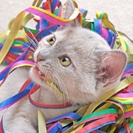 Tangled by Mia Ikonen - Animals - Cats Kittens ( playing, funny, finland, paper streamers, burmese )