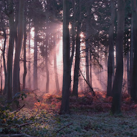Morning Woods by Ceri Jones - Landscapes Forests ( trees, woodland, forest, sunlight, woods )