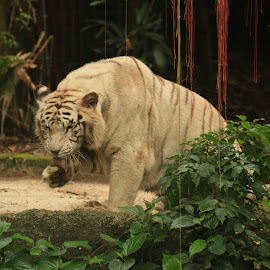 Cleaning up after meal by Michael Loi - Novices Only Wildlife ( white tiger, cleaning up after meal )