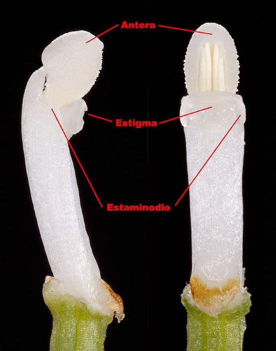 Ginostemo de Cephalanthera longifolia
