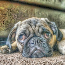 Innocent by Darren Harrison - Animals - Dogs Puppies ( sweet, innocent, tired, puppy, cute, pug )