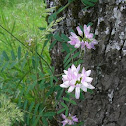 Crown Vetch / Bunte Kronwicke