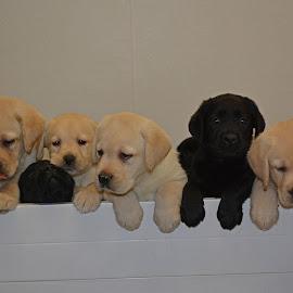 by Deanna Clark - Animals - Dogs Puppies