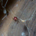 Triangulate cobweb spider