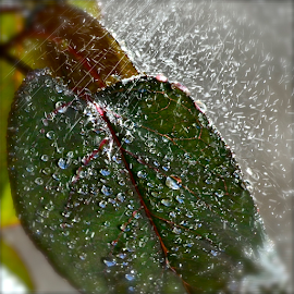 Split Droplet by Craig Luchin - Nature Up Close Leaves & Grasses