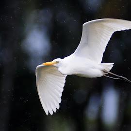 White Stork  by Raju Arafah - Animals Birds ( fly, white stork )