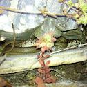 Balkan whip snake