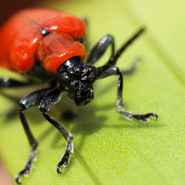 Lily Beetle by Gordon Mcallen - Animals Insects & Spiders ( red, bugs, pest, blind, beetle )