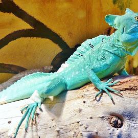 CHAMELEON by Wojtylak Maria - Animals Reptiles ( nature, aquarium, reptile, chameleon, animal )