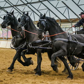 Frisians  by Nancy Merolle - News & Events Entertainment