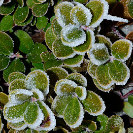 Hoar frost  by Denton Thaves - Nature Up Close Other plants ( hoar, frost )