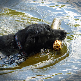 Swimming! by Michele Williams - Animals - Dogs Playing