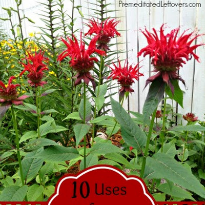 10 Ways to Use Bee Balm and Bee Balm Bread