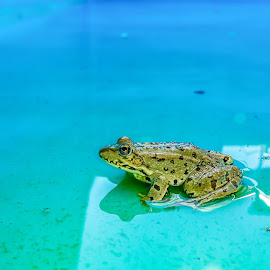 Frog reflection by Srdjan Vujmilovic - Animals Amphibians ( water, reflection, life, pool, frog, green, amphibian, house, dots, aqua, photography, animal )