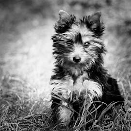 b&w by Michal Zbojan - Animals - Dogs Puppies (  )