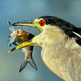 Breakfast by James Eveland - Animals Birds ( black-crowned night-heron, nature, outdoor, wildlife, birds )