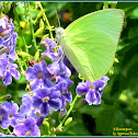 Lemon Emigrant Butterfly (Male form alcmeone)