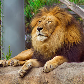 Captivity by Olivia Valdes - Animals Lions, Tigers & Big Cats ( big cat, lion, san diego, zoo, california, wildlife,  )