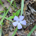 Small Periwinkle