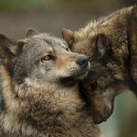 Wolves Nuzzling by Selena Chambers - Animals Other Mammals ( animals, wolf, european wolves, wolves, wolves nuzzling )