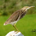 Indian Pond Heron / Paddybird