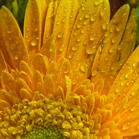 one in the bouquet by Srivenkata Subramanian - Flowers Single Flower ( bouquet, daisy, india, closeup, flower,  )