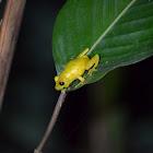 Ranita de suampo--- Swamp tree frog