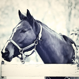 Patience by Sue Delia - Animals Horses ( warmblood, horse, yearling, atallion,  )