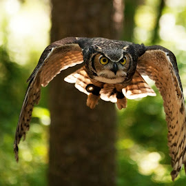 Owl In Flight by George Holt - Animals Birds ( flight, flying, owl, eating, attack )