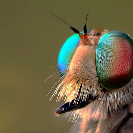 The facet by A Friyana Wiradikarta - Animals Insects & Spiders ( facet, insect, robberfly )