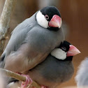 rice bird, Java sparrow