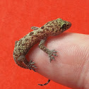 Common House Gecko