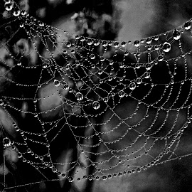 Pearls of water. by Miguel Silva - Nature Up Close Natural Waterdrops ( water drops, b&w, miguel silva, drops, nature up close, viseu, portugal, spider web )