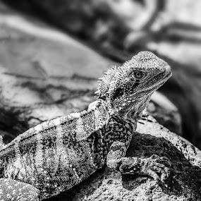 Eastern Water Dragon by Angelica Glen - Black & White Animals ( water, lizard, monochrome, dragon )