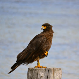 Caracara by Janet Rose - Novices Only Wildlife