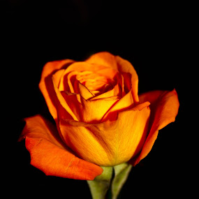 Orange Rose by Brenda Hooper - Flowers Single Flower ( orange, rose, single flower, green, botanical, flower,  )