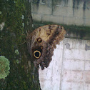 Yellow fronted owl butterfly