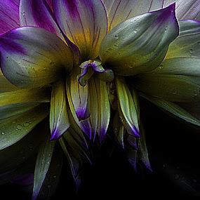 Dahlia by Steve Wilking - Flowers Single Flower ( dahlia )