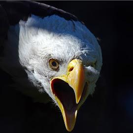 The Face of Annoyance by Dennis Ba - Animals Birds ( bald eagle )