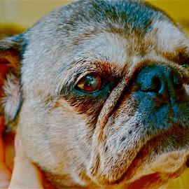 Pug portrait by Kathi-lee McClemens - Animals - Dogs Portraits